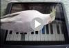Bird playing piano on Ipad